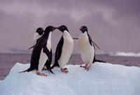 Penguin Kisses. Adelie Penguins on an ice floe in the Ross S