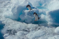 Adelie Penguins jump between ice floes at Dumont Durville Ad