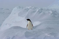 Adelie Penguin in a snowscape. Weddell Sea. Antarctica.