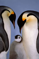 Emperor Penguin adults bend their heads over a chick at the