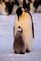 Emperor Penguin chick begs & cheeps at an adult that it thin