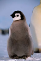 Grey and downy,an Emperor Penguin chick,the world's most