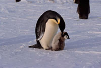 Adult Emperor Penguin bends its head to peck its grey,down