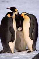 Three adult Emperor Penguins investigate a chick that is beg