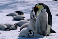 Emperor Penguin adult checks a group of chicks looking for i
