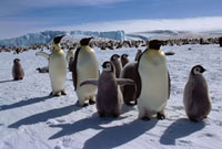 Emperor Penguin adults search for their own chicks by the Ek