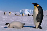Emperor Penguin Adult and well fed chick by the ice shelf an