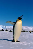 Emperor Penguin adult stretches and yawns on the sea ice at