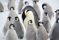 Adult Emperor Penguin returning to the colony calls to chick
