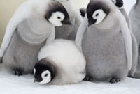 Emperor Penguin chicks spend time together. Snow Hill Island