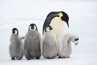 Four emperor penguin chicks with an adult at Snow Hill Islan
