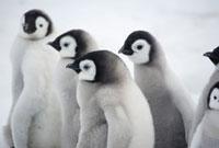 Downy emperor penguin chicks at Snow Hill emperor penguin co