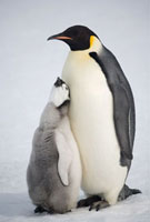 Emperor penguin chick begs hard for food from a parent. Snow