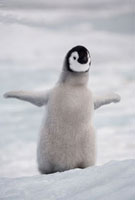 Exuberant emperor penguin chick with flippers outstretched.