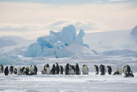 Emperor Penguin Colony with a backdrop of well thawed iceber