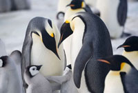 Two adult Emperor Penguins display while chicks spar. Snow H
