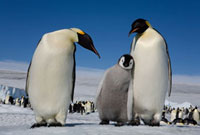 Emperor Penguin chick leans on a parent at Snow Hill Island.