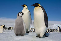 Emperor Penguin chick with two adults at Snow Hill Island. A