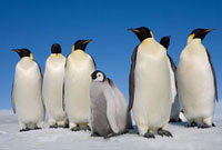 Emperor Penguin chicks with a group of adults at Snow Hill I