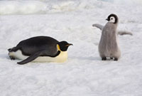 Emperor Penguin Chick spreads its tiny wings by its parent.