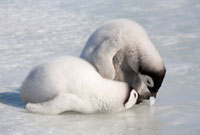 Emperor Penguin chicks play with a piece of ice as they wait