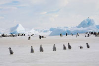 Lines of Emperor penguin chicks move from group to group whi