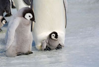Emperor penguin with a small chick on its feet,beside a he