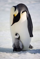 Emperor penguin adult communicates with a small chick on its