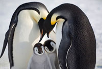 Two Emperor penguin adults display to two chicks. Snow Hill