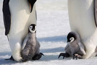 Two Emperor penguin adults with chicks on their feet. Snow H
