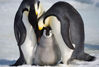 Adult Emperor Penguins lean over a large,healthy chick the