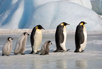 Emperor Penguins,both adults and chicks walk in a line bet