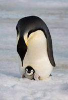 Emperor Penguin with her tiny chick on her feet looks down a