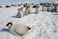 Curious Emperor Penguin chick,fat and downy,in the colon