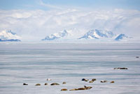 Crabeater seals sleep on the fast ice in Antarctic Sound. An