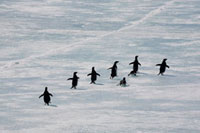 Adelie Penguins flee across the fast ice in the spring. Anta