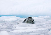 Leopard Seal cruising in the ice by a glacier Cierva Cove. A 22001000218| 写真素材・ストックフォト・画像・イラスト素材|アマナイメージズ