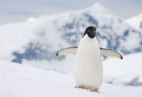 Adelie Penguin on a snow bank at Prospect Point with the mou