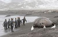 King Penguins walk by Snowy Sheathbills and an Elephant Seal
