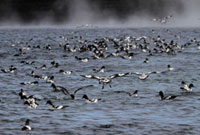 Cape Petrels feed on a Krill swarm by the whaling station at 22001000243| 写真素材・ストックフォト・画像・イラスト素材|アマナイメージズ