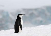 Chinstrap penguin on snow. Antarctica