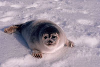 A Young Ringed Seal,(Phoca hispida),on sea ice off Baffi
