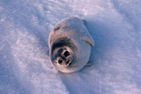 A Young Ringed Seal,Phoca hispida,on sea ice. The Arctic