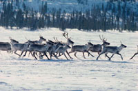 Caribou trot across a frozen lake on their Spring migration.