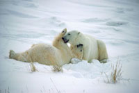 Polar Bears gently play on the snowy winter tundra. Cape Chu