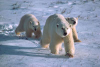 Polar Bear mother with her cubs of the year. Cape Churchill