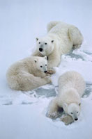 Polar Bear mother with her cubs-of-the-year. Churchill,Man 22001000265| 写真素材・ストックフォト・画像・イラスト素材|アマナイメージズ