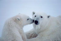Polar Bear mother with her cub. Cape Churchill,Manitoba,