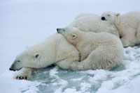 Polar Bear mother with her cubs-of-the-year. Churchill,Man