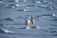 Polar Bear mother and cubs walking across sea ice on Hudson